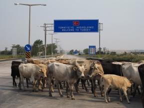 vaches troupeau