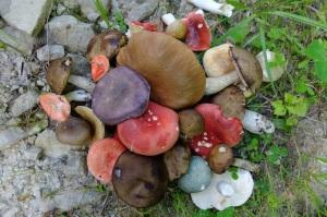 champignons-panticeu