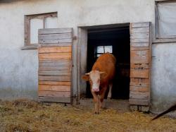 vache-ferme